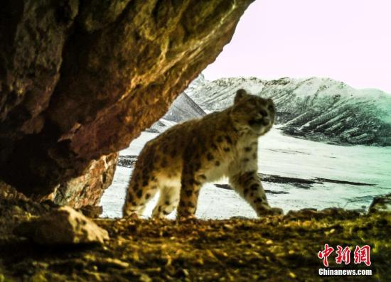 The image of a snow leopard was captured by an infrared camera in Yushu Tibetan Autonomous Prefecture, Qinghai Province. (Photo/China News Service)