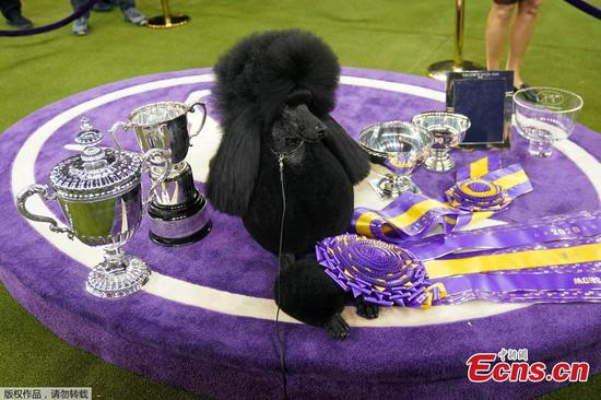 Standard poodle Siba wins best in show at Westminster Dog Show