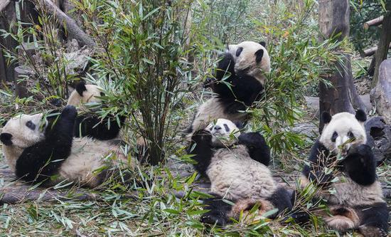 Giant pandas eat bamboo leaves at the Chengdu Research Base of Giant Panda Breeding, Jan. 1, 2020. (Photo by Chen Juwei/Xinhua)