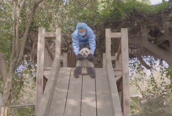 Chenglang plays with its breeder (Photo grab from a video by the Chengdu Research Base of Giant Panda Breeding)