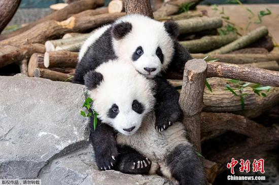 Handout photo shows twin panda cubs in Berlin Zoo