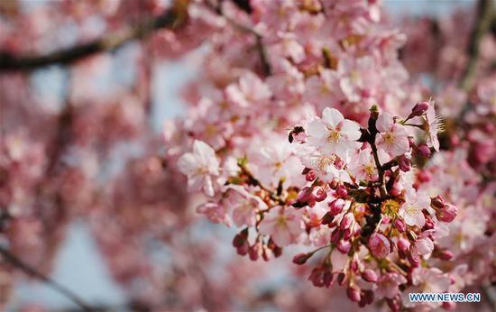 图片:上海辰山植物园的樱花