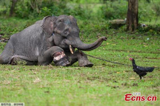 在印度尼西亚治疗的受伤小象