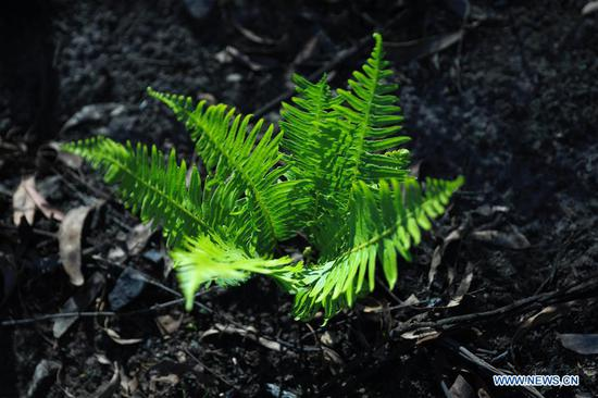 Sprouting plants seen after bushfires near Batemans Bay in Australia