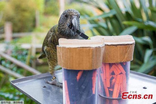 Study: Parrots can make decisions based on probabilities