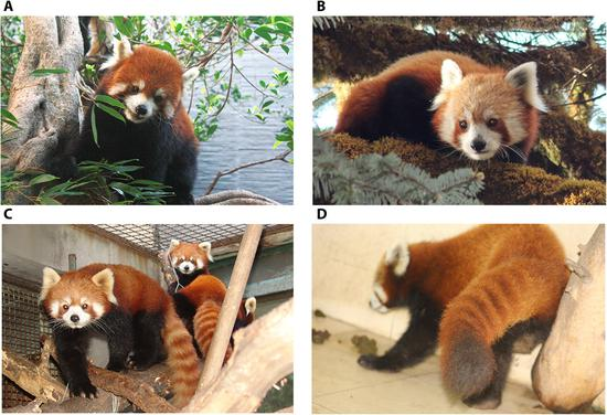 Study reveals red panda may be two distinct species