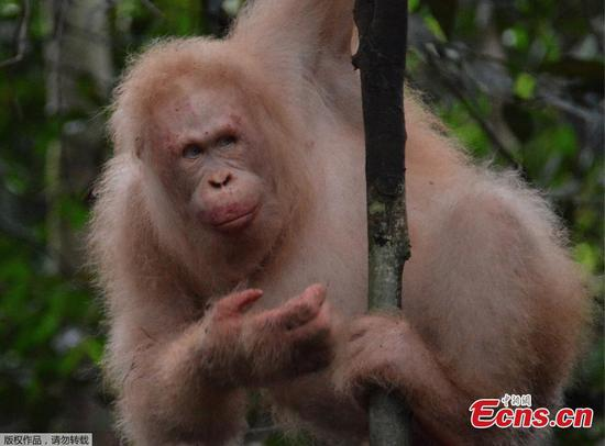 Rare albino orangutan spotted in Borneo rainforest