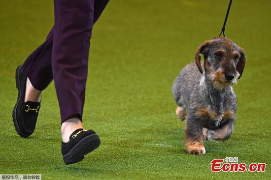 Maisie the Dachshund wins Crufts dog show