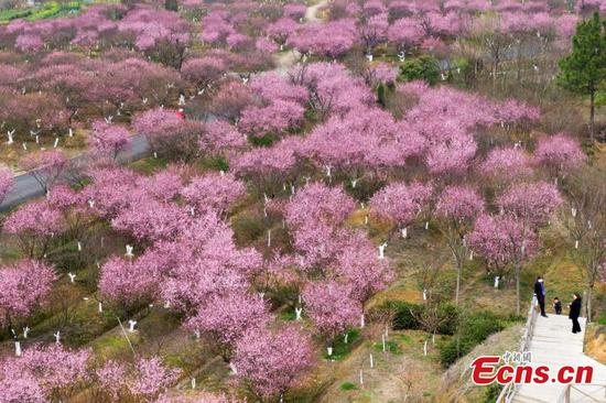 Plum in full blossom in Nanjing