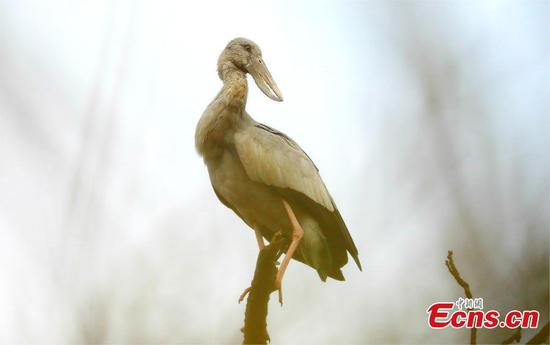 Asian openbill storks seen in SW China