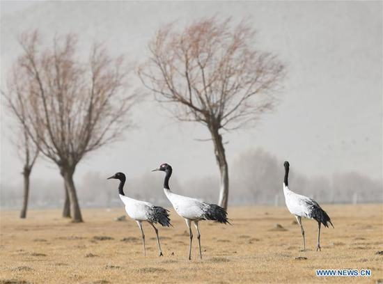 Black-necked cranes seen in Shannan, China's Tibet
