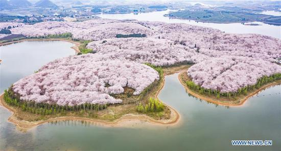 Cherry blossoms in full bloom in China's Guizhou