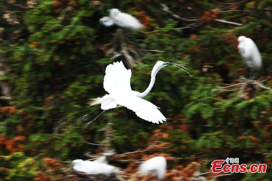 Egrets seen in Xiangshan forest park in Jiangxi