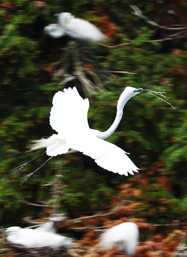 Egrets seen in Xiangshan forest park in Jiangxi