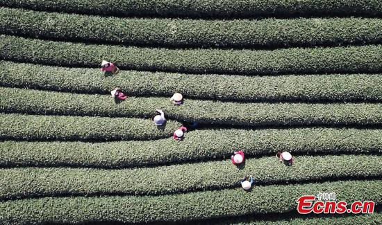 Newly-picked Longjing tea soon be in season