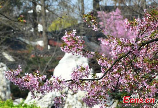Cherry flowers in full blossom in Wuhan