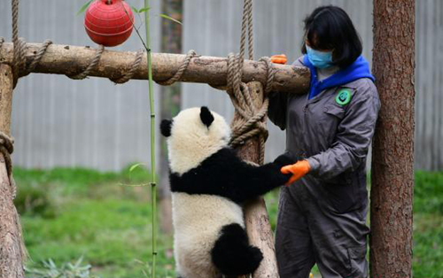 Coronavirus disrupts captive panda breeding