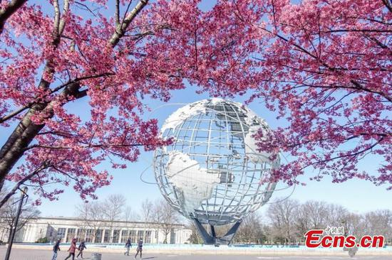 Cherry blossoms burst in New York