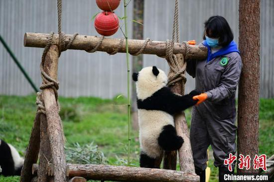 饲养员在基地与一只大熊猫一起玩。 (照片提供给水果机新闻社)