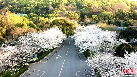 Cherry blossoms at Wuhan University