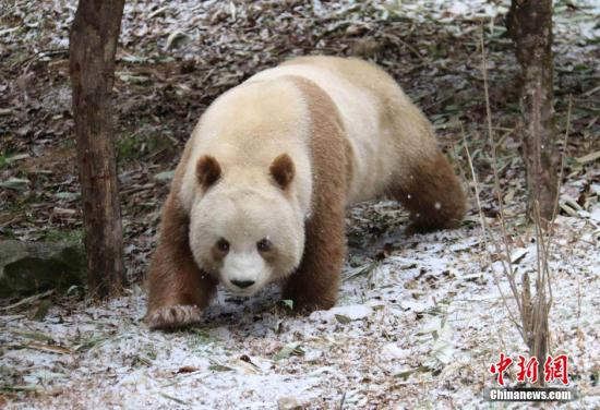 World's only captive brown panda succeeds in natural mating