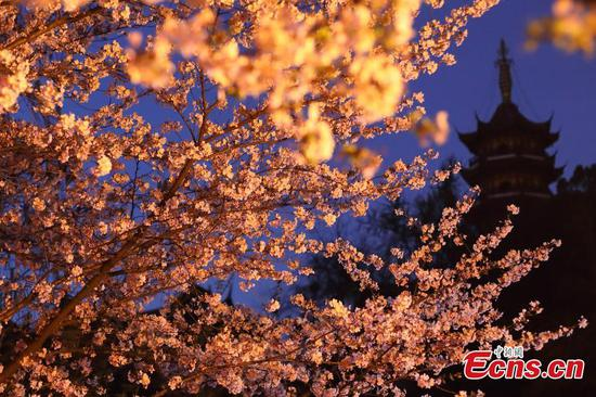 Cherry blossoms bathed in night light in Nanjing