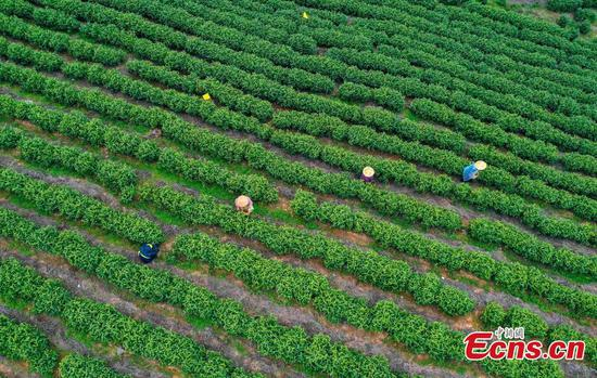 Farmers pick white tea in E China county