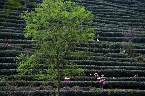 West Lake Longjing Tea enters harvest season in Zhejiang