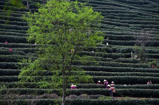 西湖龙井茶进入浙江收成季节