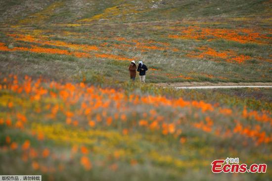 冠状病毒时代的加利福尼亚罂粟开花