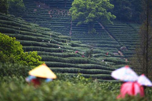 West Lake Longjing Tea enters harvest season in Zhejiang