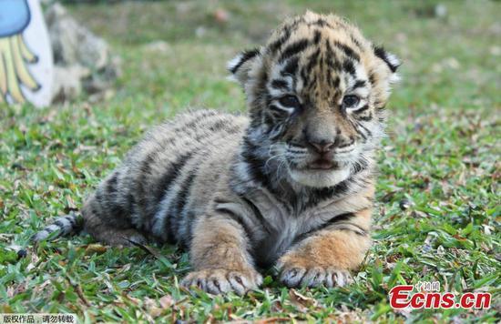 """小老虎"""" Covid""""的出生给墨西哥动物园带来希望"""