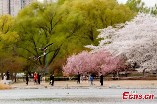 北京玉渊潭公园的樱花