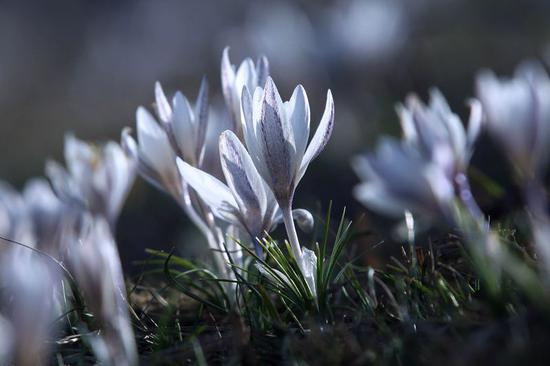 Wild lilies bloom as snow melts in Xinjiang