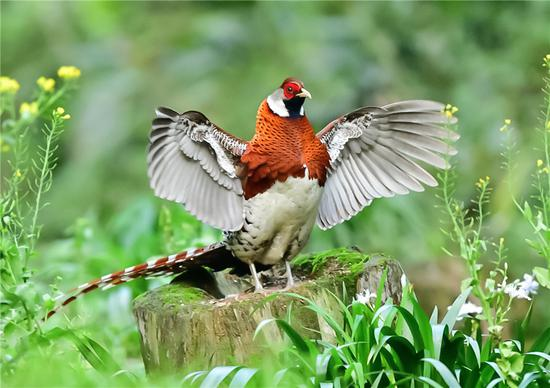 Beautiful birds spotted in Fujian countryside
