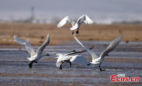 Migratory birds return to wetland in Bayinbuluk