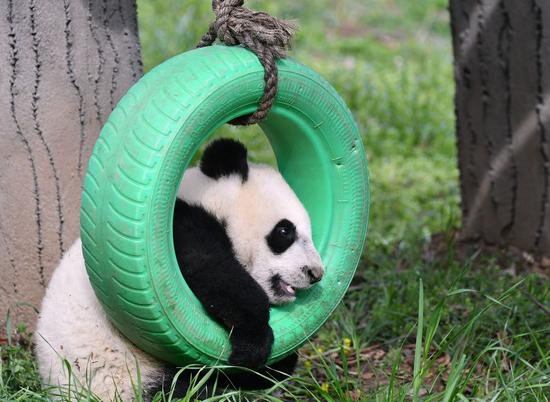 A moment of giant panda cubs in NW China's Shaanxi