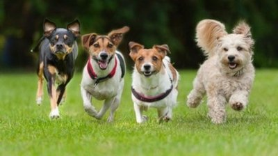 British researchers training dogs to detect people who have the virus
