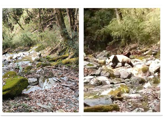 Forest ranger encounters with wild giant panda in NW China
