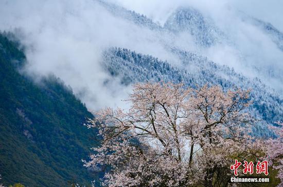 西藏桃花风景