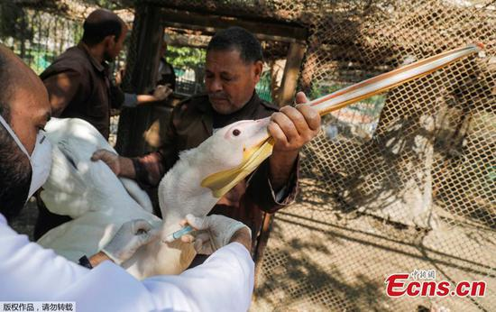 Egyptian zoo birds vaccinated against avian flu