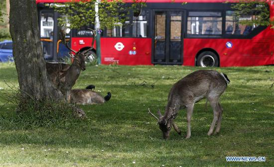 Deer appear at residential areas of London during coronavirus lockdown