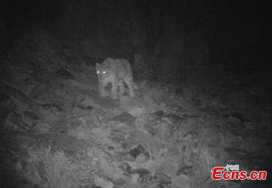 Snow leopard captured on infrared camera in NW China
