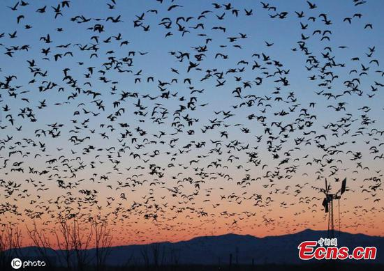 White-fronted geese blot out sky in Hokkaido