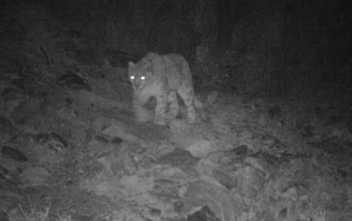 Snow leopard spotted in Hoh Xil nature reserve