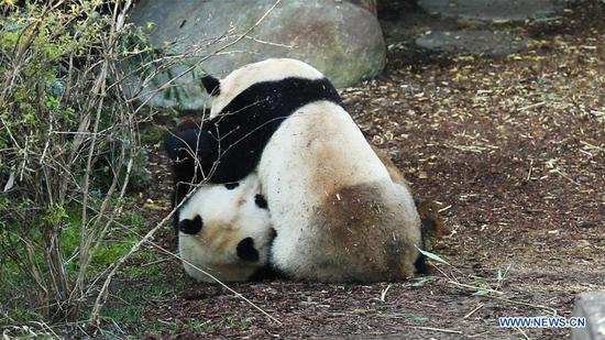 Visiting Chinese giant pandas seen at Copenhagen Zoo