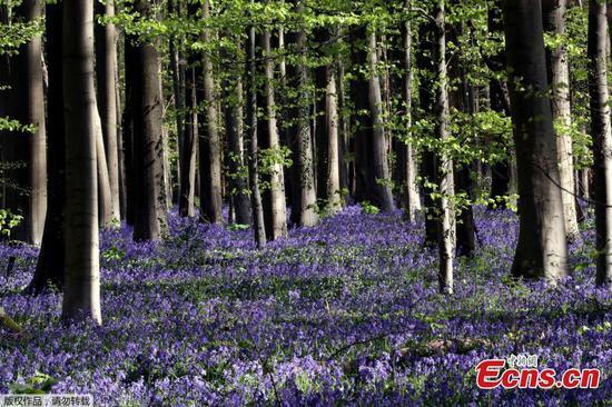 蓝铃花森林在冠状病毒爆发期间对游客关闭