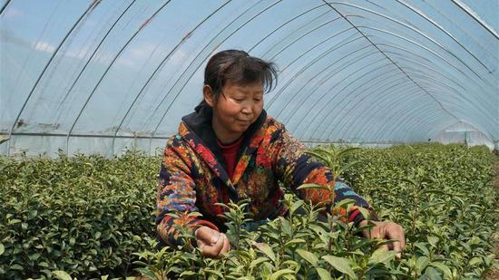 A tea farmer works at a tea plantation in a poverty-stricken county in Hebei Province, April 11, 2020. (Photo/Xinhua)