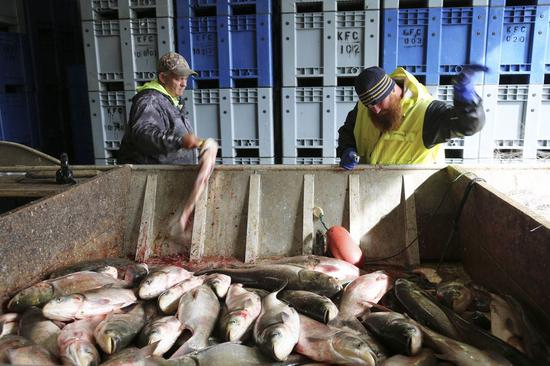 Local fishermen deliver newly caught Asian carp to Two Rivers Fisheries in Wickliffe, Kentucky, the United States, April 12, 2019. (Xinhua/Xu Xingtang)