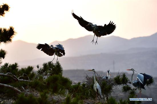 In pics: herons in N China's Jicui Town